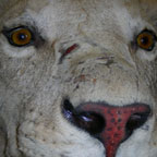Lion's face for College Big Cats E-course